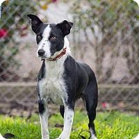 Adopt A Pet :: SUZY Q - Corning, CA