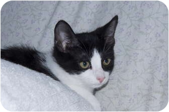 Domestic Shorthair Kitten for adoption in New Egypt, New Jersey - Diamond