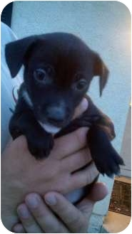Australian Cattle Dog/Border Collie Mix Puppy for adoption in Bakersfield, California - Thumbelina