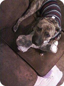Pit Bull Terrier Dog for adoption in Chewelah, Washington - Titus
