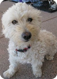 Poodle (Miniature)/Terrier (Unknown Type, Small) Mix Dog for adoption in Phoenix, Arizona - Sprint