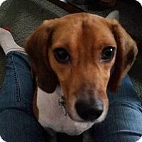 Adopt A Pet :: Felix - Yardley, PA
