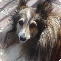 Adopt A Pet :: Scottie - PUREBRED MiniSheltie - Burbank, CA