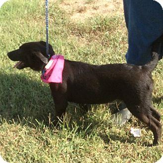 Australian Cattle Dog Mix Puppy for adoption in Trenton, New Jersey - Susie