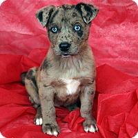 Adopt A Pet :: Danae Border Aussiehoula - St. Louis, MO