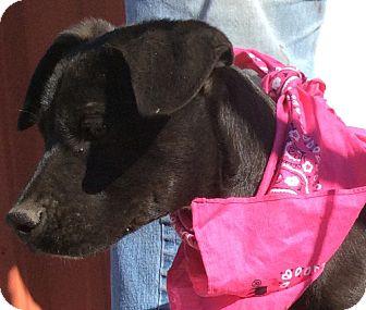 Boxer/Labradoodle Mix Puppy for adoption in Burlington, Vermont - Rosie
