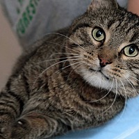 Domestic Shorthair Cat for adoption in St. Louis, Missouri - Carter Beauford