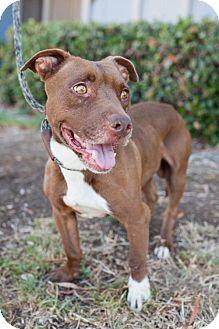 Staffordshire Bull Terrier/Vizsla Mix Dog for adoption in San Diego, California - Ziti