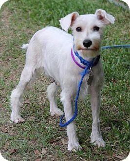 Standard Schnauzer Dog for adoption in Spring, Texas - Jigglypuff