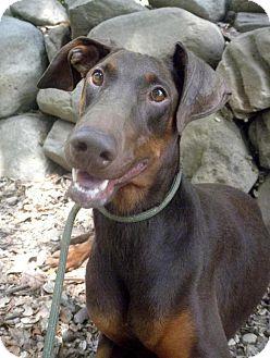 Doberman Pinscher Dog for adoption in Fillmore, California - Coco