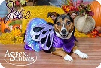Basset Hound/Beagle Mix Dog for adoption in Valparaiso, Indiana - Josie