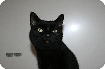 Domestic Shorthair Cat for adoption in Lancaster, Pennsylvania - Andy