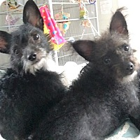 Adopt A Pet :: Morticia & Wednesday - Ft. Lauderdale, FL