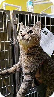 Domestic Shorthair Kitten for adoption in Adrian, Michigan - Hunter