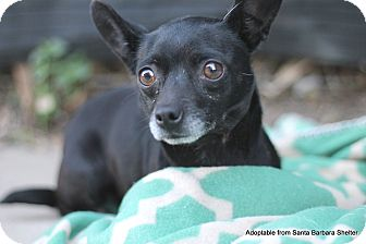 Chihuahua Mix Dog for adoption in Goleta, California - Boo