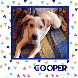Labrador Retriever Mix Dog for adoption in Enid, Oklahoma - Cooper