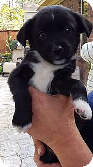 Terrier (Unknown Type, Small) Mix Puppy for adoption in Fort Atkinson, Wisconsin - Samson