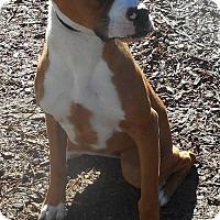 Boxer Dog for adoption in Yucaipa, California - pixie