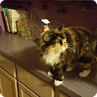 Domestic Longhair Cat for adoption in Bloomingdale, Illinois - Cameo