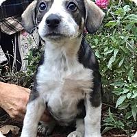 Adopt A Pet :: Dianna - Haggerstown, MD
