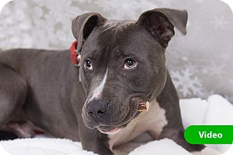 Pit Bull Terrier Mix Dog for adoption in Durham, North Carolina - Bubby