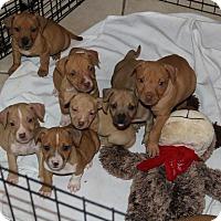 Adopt A Pet :: Thanksgiving Pups - Pompano Beach, FL