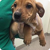 Adopt A Pet :: Obi Wan - Gainesville, FL
