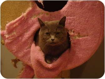 Domestic Shorthair Cat for adoption in Muncie, Indiana - Nadia