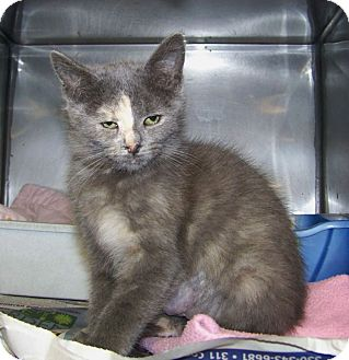 Domestic Shorthair Kitten for adoption in Dover, Ohio - Nadine