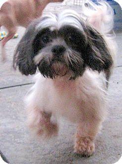 Shih Tzu Dog for adoption in Winnetka, California - BAXTER