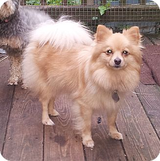 Pomeranian Mix Dogs