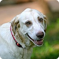 Adopt A Pet :: Adele - Cumming, GA