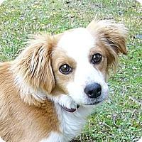 Adopt A Pet :: Rooster - Mocksville, NC