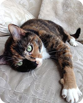 Calico Cat for adoption in Libertyville, Illinois - Mary