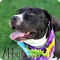 Adopt A Pet :: Abbey - Courtesy Post - Beverly Hills, CA