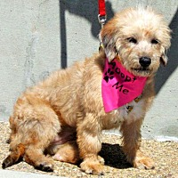 Terrier (Unknown Type, Small) Mix Dog for adoption in Vista, California - Ginny