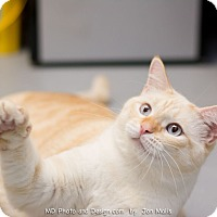 Adopt A Pet :: Chippin - Fountain Hills, AZ