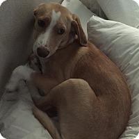 Adopt A Pet :: Billy - Richmond, VA