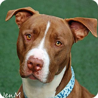 American Pit Bull Terrier Dog for adoption in Burlingame, California - Danny