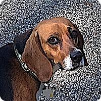 Adopt A Pet :: Marcie - Houston, TX