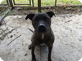 Pit Bull Terrier Dog for adoption in Zaleski, Ohio - BJ aka BlackJack