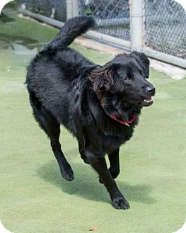 Retriever (Unknown Type)/Shepherd (Unknown Type) Mix Dog for adoption in Loxahatchee, Florida - Atticus