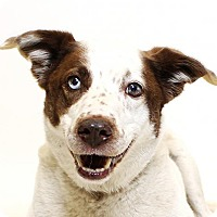 Adopt A Pet :: Jazz - Truckee, CA