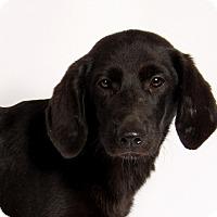 Adopt A Pet :: Joann Labmix - St. Louis, MO