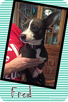 Basenji Mix Puppy for adoption in Scottsdale, Arizona - Fred