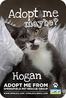 Domestic Shorthair Kitten for adoption in Jacksonville, Florida - Hogan