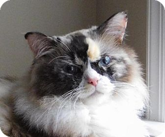 Ragdoll Cat for adoption in Winston-Salem, North Carolina - Sydney