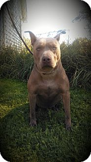 American Pit Bull Terrier Dog for adoption in Cherry Valley, New York - Hennessy