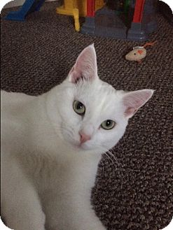 Domestic Shorthair Cat for adoption in Millersville, Maryland - Pearl