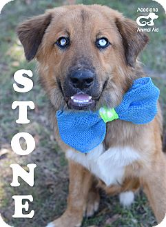 Leonberger/Australian Shepherd Mix Dog for adoption in Colorado Springs, Colorado - Stone